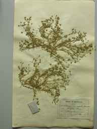 Spergularia rupicola herbarium specimen from Perelle Bay Guernsey, VC113 Channel Islands in 1895 by T C Royle.