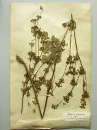 Apium graveolens herbarium specimen from Guernsey, VC113 Channel Islands in 1896 by T C Royle.