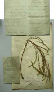 Artemisia campestris herbarium specimen from Brandon, VC26,VC28 in 1887 by Rev. Edward Francis Linton.