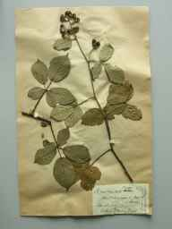 Rubus ramosus herbarium specimen from South Brent, VC3 South Devon in 1889 by Mr Thomas Richard Archer Briggs.