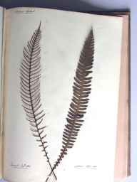 Blechnum spicant herbarium specimen from Waldron, VC14 East Sussex in 1863.