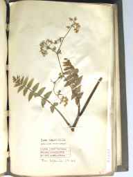 Berula erecta herbarium specimen from Wem, VC40 Shropshire in 1890 by Richard de Gylpyn Benson.