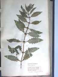 Lycopus europaeus herbarium specimen from Bomere Pool, VC40 Shropshire in 1890 by Richard de Gylpyn Benson.