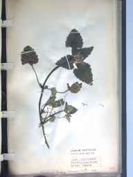 Lamium purpureum herbarium specimen from Kingsland, VC40 Shropshire in 1888 by Richard de Gylpyn Benson.
