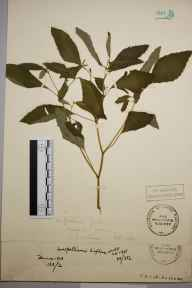 Impatiens biflora herbarium specimen from Shalford, VC17 Surrey in 1892 by Mr Charles Edgar Salmon.