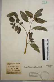 Impatiens biflora herbarium specimen from Guildford, VC17 Surrey in 1888 by Rev. Edward Shearburn Marshall.