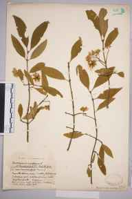 Euonymus europaeus herbarium specimen from Clay Bottom, VC6 North Somerset in 1933 by Mr Harold Stuart Thompson.