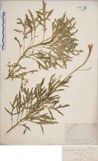 Diplotaxis tenuifolia herbarium specimen from Southampton, VC11 South Hampshire in 1844.