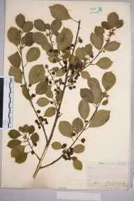 Frangula alnus herbarium specimen from Hayes Common, VC16 West Kent in 1911 by William Charles Richard Watson.