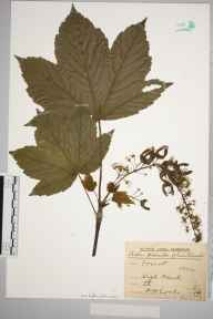 Acer pseudoplatanus herbarium specimen from High Beech, VC18 South Essex in 1910 by Rev. Philip Henry Cooke.
