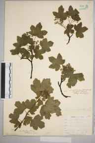 Acer campestre herbarium specimen from Catford, VC16 West Kent in 1900 by William Henry Griffin.