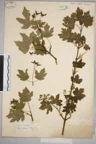 Acer campestre herbarium specimen from Rydinghurst, VC17 Surrey in 1888 by Mr William Hadden Beeby.