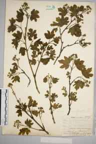 Acer campestre herbarium specimen from Downe, VC16 West Kent in 1907 by William Henry Griffin.