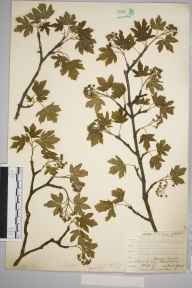 Acer campestre herbarium specimen from Keston, VC16 West Kent in 1904 by William Henry Griffin.