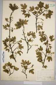 Acer campestre herbarium specimen from Leaves Green, VC16 West Kent in 1905 by William Henry Griffin.