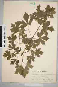 Acer campestre herbarium specimen from Warlingham, VC17 Surrey in 1920 by Mr Charles Edward Britton.