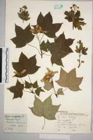 Acer campestre herbarium specimen from Wimbledon Common, VC17 Surrey in 1959 by Charles Avery.