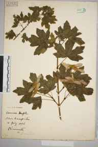 Acer campestre herbarium specimen from Kensworth, VC20 Hertfordshire in 1896.
