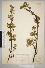 Acer campestre herbarium specimen from Burgh Heath, VC17 Surrey in 1934 by Mr Edward Charles Wallace.