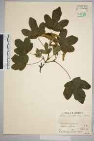 Acer campestre herbarium specimen from Wateringbury, VC16 West Kent in 1934 by Mr Job Edward Lousley.