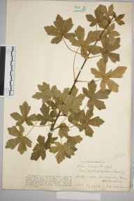 Acer campestre herbarium specimen from Tring, VC20 Hertfordshire in 1928 by Mr Iolo Aneurin Williams.