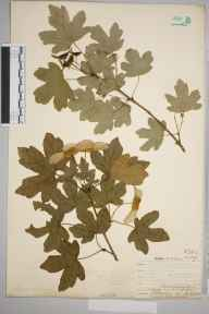 Acer campestre var. leiocarpum herbarium specimen from Wolstonbury Hill, VC13 West Sussex in 1905 by Thomas Hilton.