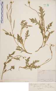 Diplotaxis muralis herbarium specimen from Cherry Hinton Pits, VC29 Cambridgeshire in 1846 by Mr Frederick Townsend.