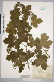 Acer campestre herbarium specimen from Radipole, VC9 Dorset in 1912 by Charles Smith Nicholson.