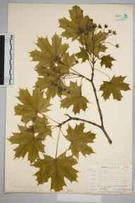 Acer platanoides herbarium specimen from Norwood, VC17 Surrey in 1904 by William Henry Griffin.