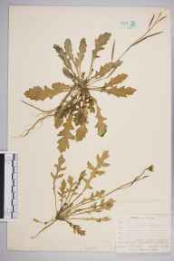 Diplotaxis muralis herbarium specimen from Chelsfield, VC16 West Kent in 1904 by William Henry Griffin.