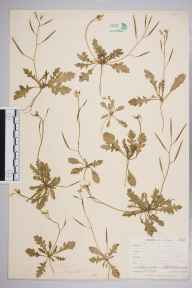 Diplotaxis muralis herbarium specimen from Falmouth, VC1 West Cornwall in 1900 by Mr Frederick Hamilton Davey.