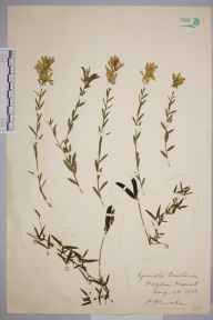 Genista tinctoria subsp. humifusa herbarium specimen from Theydon Mount, VC18 South Essex in 1938 by Rev. Philip Henry Cooke.