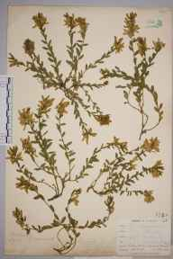 Genista tinctoria subsp. humifusa herbarium specimen from Kynance, VC1 West Cornwall in 1900 by Mr Allan Octavian Hume.