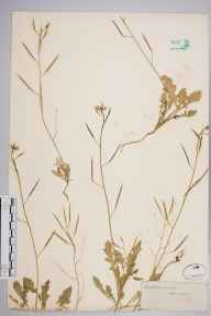 Diplotaxis muralis herbarium specimen from Lewes, VC14 East Sussex in 1845 by Joseph Woods.