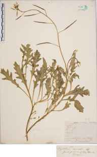 Diplotaxis muralis herbarium specimen from Cherry Hinton, VC29 Cambridgeshire in 1846 by Mr Frederick Townsend.