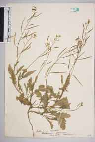 Diplotaxis muralis herbarium specimen from Porthcawl, VC41 Glamorganshire in 1934 by William Robert Sherrin.