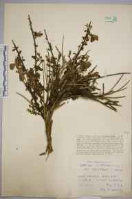 Cytisus scoparius herbarium specimen from Gue Graze, VC1 West Cornwall in 1929 by Mr Job Edward Lousley.