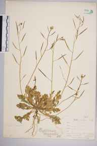 Diplotaxis muralis herbarium specimen from Par Harbour, VC2 East Cornwall in 1901 by Mr Allan Octavian Hume.
