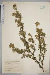 Ononis spinosa herbarium specimen from Botley, VC23 Oxfordshire in 1943 by Charles Edward Hubbard.