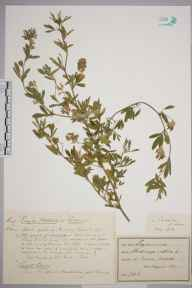 Medicago sativa herbarium specimen from Cromer, VC27 East Norfolk in 1891 by Prof., Sir Jethro Justinian  Harris Teall (Dulwich College).