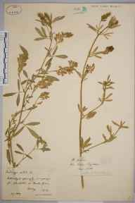 Medicago sativa herbarium specimen from Bowler Green, VC17 Surrey in 1889 by Rev. Edward Shearburn Marshall.