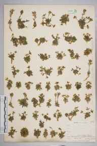 Draba incana herbarium specimen from Cronkley Fell, VC65 North-west Yorkshire in 1903 by Mr Allan Octavian Hume.