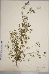 Medicago polymorpha herbarium specimen collected in 1934 by Mr Isaac A Helsby.
