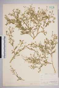 Capsella bursa-pastoris herbarium specimen from West Looe, Hannafore, VC2 East Cornwall in 1900 by Mr Allan Octavian Hume.