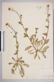 Capsella bursa-pastoris herbarium specimen from Upper Teesdale, VC66 County Durham in 1903 by Mr Allan Octavian Hume.