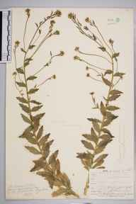 Draba incana herbarium specimen from Ben Lawers, VC88 Mid Perthshire in 1908 by William Henry Griffin.