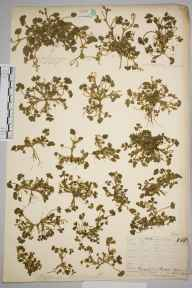 Trifolium subterraneum herbarium specimen from Land's End, VC1 West Cornwall in 1899.