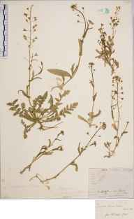Capsella bursa-pastoris herbarium specimen from Lewes, VC14 East Sussex in 1861 by Joseph Woods.