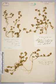 Trifolium scabrum herbarium specimen from Bungay, VC25 East Suffolk in 1840 by Daniel Stock.
