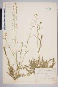 Capsella bursa-pastoris herbarium specimen from Milford, VC17 Surrey in 1891 by Rev. Edward Shearburn Marshall.